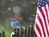 Male Mountain Bluebird (Sialia Currucoides) Waiting Out the 4th of July Snowstorm Fotografie-Druck von Alexander Badyaev