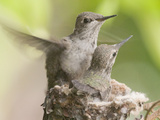 Anna's Hummingbird (Calypte Anna) Trying Out its New Wings from the Nest, Irvine, California Photographic Print by Hal Beral