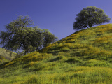 Oaks and Spring Wildflowers in Lost Hills, California, USA Photographic Print by David Cobb