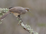 Curve-Billed Thrasher (Toxostoma Curvirostre) Calling from a Branch in South Texas, USA Photographic Print by Glenn Bartley