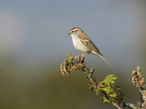 Chipping Sparrow (Spizella Passerina) Perched on a Branch in Victoria, British Columbia, Canada Photographic Print by Glenn Bartley