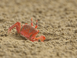 A Crab on the Beach, Ecuador Photographic Print by Glenn Bartley