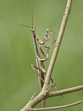 A Praying Mantis Perched on a Branch at the Mindo Loma Reserve in Northwest Ecuador Photographic Print by Glenn Bartley