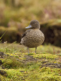 Andean Teal (Anas Andium) Standing on Paramo Vegetation in the Highlands of Ecuador Photographic Print by Glenn Bartley