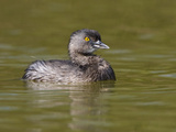 Least Grebe (Tachybaptus Dominicus), South Texas, USA Photographic Print by Glenn Bartley