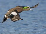 American Wigeon (Anas Americana) Flying in Victoria, British Columbia, Canada Photographic Print by Glenn Bartley