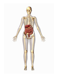 Biomedical Illustration of a Man in Frontal View Showing the Digestive and Skeletal Systems Giclee Print by Scott Camazine