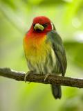Red-Headed Barbet (Eubucco Bourcierii), Costa Rica Photographic Print by Gregory Basco