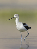 American Avocet (Recurvirostra Americana) Wading in the Water of a Shallow Pond in Alberta, Canada Reproduction photographique par Glenn Bartley