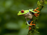 Red-Eyed Tree Frog (Agalychnis Callidryas), Costa Rica Photographic Print by Gregory Basco