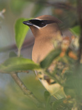 Cedar Waxwing Head (Bombycilla Cedrorum), Toronto, Ontario, Canada Photographic Print by Glenn Bartley