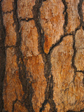 Ponderosa Pine Bark (Pinus Ponderosa), Lassen National Park, California, USA Photographic Print by David Cobb