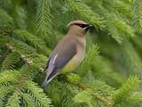 Cedar Waxwing (Bombycilla Cedrorum), Pennsylvania, USA Photographic Print by John Abbott