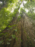 Emergent Tree Growing Through the Canopy in the Rainforest at La Selva Biological Station Photographic Print by Gregory Basco