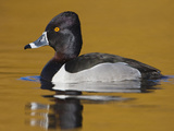 Ring-Necked Duck (Aythya Collaris) Swimming on a Golden Pond in Victoria, British Columbia, Canada Photographic Print by Glenn Bartley