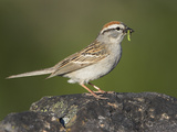 Chipping Sparrow (Spizella Passerina) Perched on a Rock with Insect Prey in its Bill, Victoria Photographic Print by Glenn Bartley