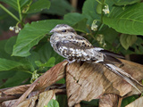 Ladder-Tailed Nightjar (Hydropsalis Climacocerca) Perched on a Leaf, Napo River Photographic Print by Glenn Bartley