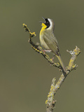 Common Yellowthroat Warbler (Geothlypis Trichas) Singing from a Branch in Victoria Photographic Print by Glenn Bartley