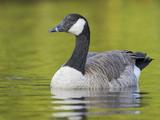 Canada Goose (Branta Canadensis) in Victoria, British Columbia, Canada Photographic Print by Glenn Bartley