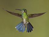 Green-Crowned Brilliant (Heliodoxa Jacula) Hovering, Ecuador Photographic Print by Glenn Bartley