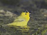 Wilson's Warbler (Wilsonia Pusilla) Bathing in a Stream in Victoria, British Columbia, Canada Photographic Print by Glenn Bartley