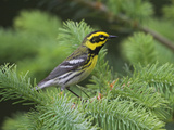 Townsend's Warbler (Dendroica Townsendi) Perched, Victoria, British Columbia, Canada Photographic Print by Glenn Bartley