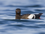 Pigeon Guillemot (Cepphus Columba) Swimming in the Ocean, Victoria, British Columbia, Canada Photographic Print by Glenn Bartley