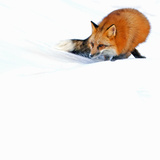 Female Red Fox (Vulpes Vulpes) Searching for Prey in a Field of Snow Photographic Print by Alexander Badyaev