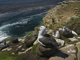 Black-Browed Albatross Nesting Colony (Thalassarche Melanophrys), Falkland Islands Photographic Print by David Cobb