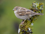 House Sparrow (Passer Domesticus) Perched on a Branch in Victoria, British Columbia, Canada Photographic Print by Glenn Bartley