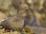 Pigeon Guillemot (Cepphus Columba) Sitting on Shore, Victoria, British Columbia, Canada Photographic Print by Glenn Bartley