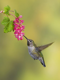Anna's Hummingbird (Calypte Anna) Feeding at Red Currant Flower in Victoria, British Columbia Photographic Print by Glenn Bartley