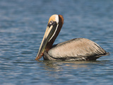 Brown Pelican, Costa Rica Photographic Print by Glenn Bartley