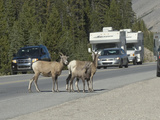 Bighorn Sheep Ewes and a Lamb (Ovis Canadensis) Create a Traffic Hazard as They Block Traffic Photographic Print by Hal Beral