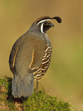California Quail (Callipepla Californica) Perched, Victoria, BC, Canada Photographie par Glenn Bartley