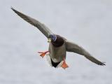 Male Mallard Duck (Anas Platyrhynchos) Flying, Victoria, BC, Canada Photographic Print by Glenn Bartley