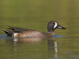 Blue-Winged Teal (Anas Discors) Swimming in Houston, Texas, USA Photographic Print by Glenn Bartley
