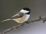 Black-Capped Chickadee (Poecile Atricapillus), Ontario Canada Reproduction photographique par Glenn Bartley