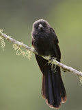 Smooth-Billed Ani (Crotophaga Ani) Perched on a Branch Near Podocarpus National Park Photographic Print by Glenn Bartley