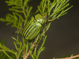 Glorious Scarab Beetle (Chrysina Gloriosa), Texas, USA Photographic Print by John Abbott