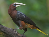 Chestnut-Headed Oropendola, Costa Rica Photographic Print by Glenn Bartley