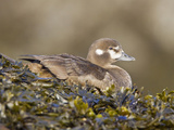 Harlequin Duck (Histrionicus Histrionicus) Sitting on Seaweed, Victoria, British Columbia, Canada Photographic Print by Glenn Bartley