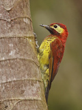 Crimson-Mantled Woodpecker (Piculus Rivoli) Perched on a Branch in the Tandayapa Valley of Ecuador Photographic Print by Glenn Bartley