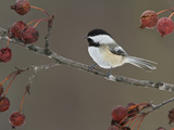 Black-Capped Chickadee (Poecile Atricapillus) Perched on a Branch, Ottawa, Ontario, Canada Reproduction photographique par Glenn Bartley