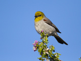 Verdin (Auriparus Flaviceps), Big Bend National Park, Texas, USA Photographic Print by John Abbott