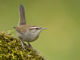 Bewick's Wren (Thryomanes Bewickii) Perched on Moss in Victoria, British Columbia, Canada Photographic Print by Glenn Bartley