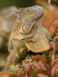 Green Iguana (Iguana Iguana), Costa Rica Photographic Print by Gregory Basco