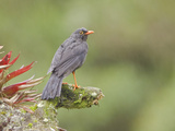 Great Thrush (Turdus Fuscater) Perched on a Branch, Papallacta Pass Photographic Print by Glenn Bartley