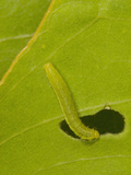 Orange-Barred Sulphur (Phoebis Philea) Caterpillar Feeding on a Senna Leaf Photographic Print by John Abbott