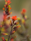 Indian Paintbrush Flowers in Paramo Vegetation, Costa Rica Photographic Print by Gregory Basco